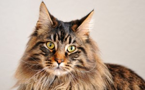 male_maine_coon_cat_called_elixir-1280x800